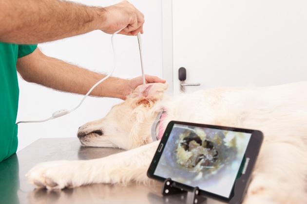 El otoscopio veterinario permite una visualización clara, con imágenes en alta definición
